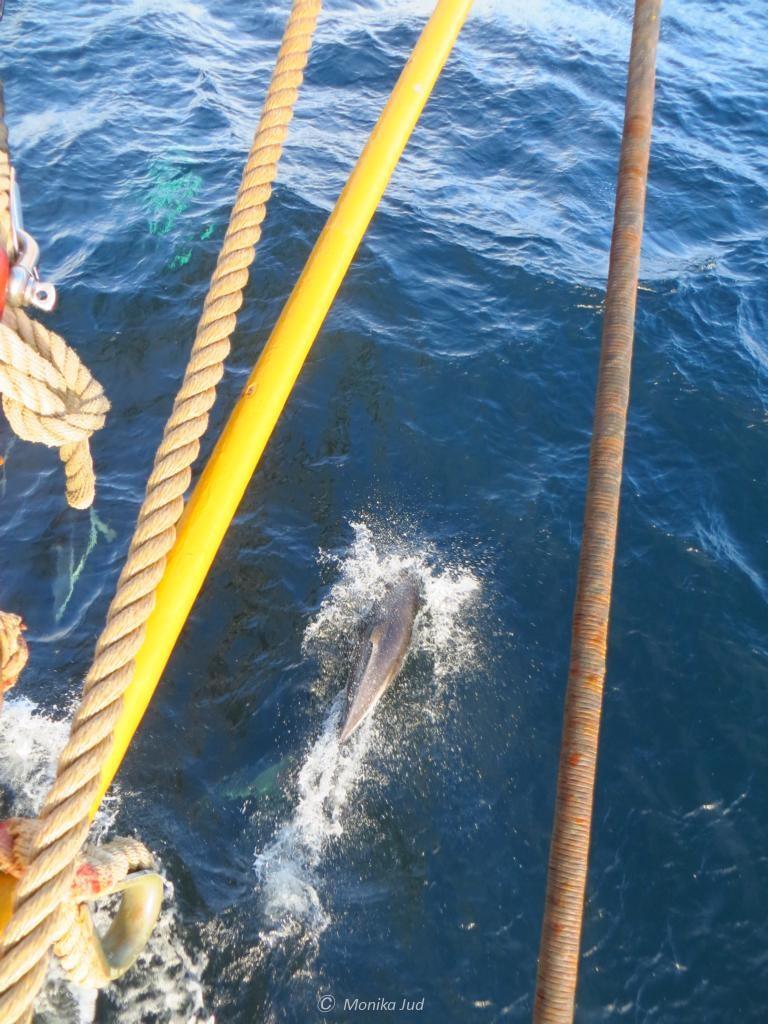 Delfine im Beagle-Kanal spielen vor dem Bug der Bark Europa