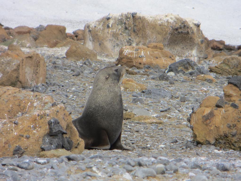 Pelzrobbe bei Brown Bluff auf Antarktika
