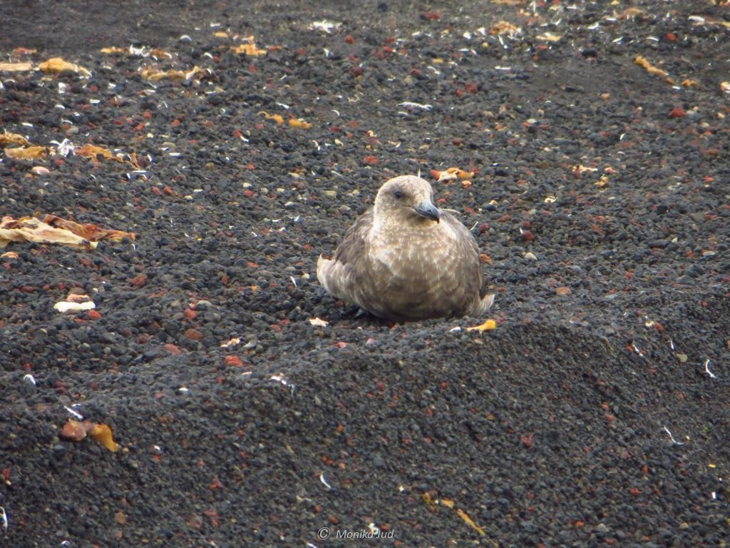 Skua auf Deception Island