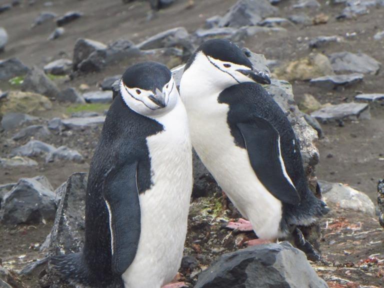 Zügelpinguine - auch Kehlstreifpinguine genannt - auf Deception Island