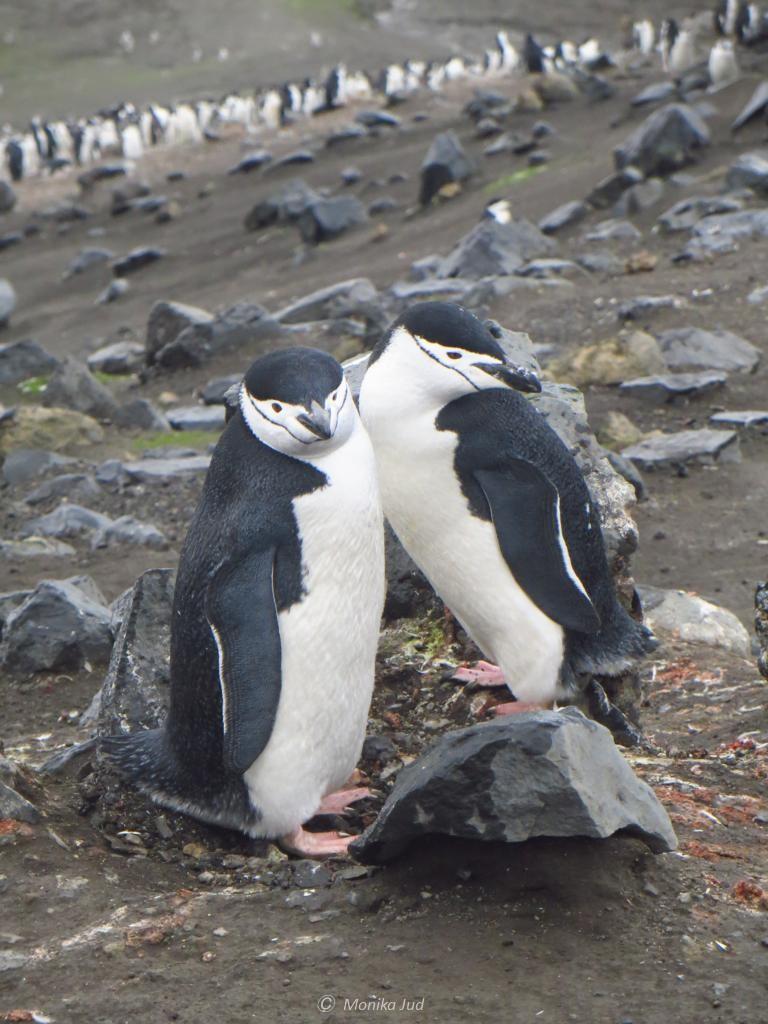 ein Zügelpinguin-Paar auf Deception Island