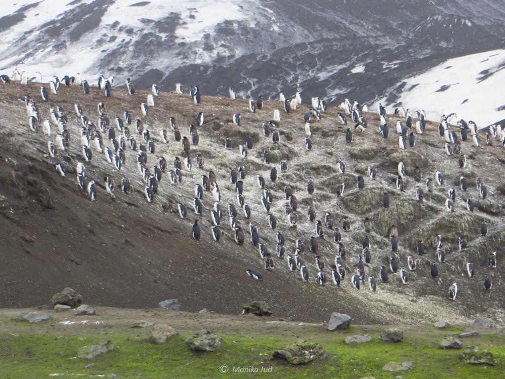 Kolonie von Zügelpinguinen auf Deception Island