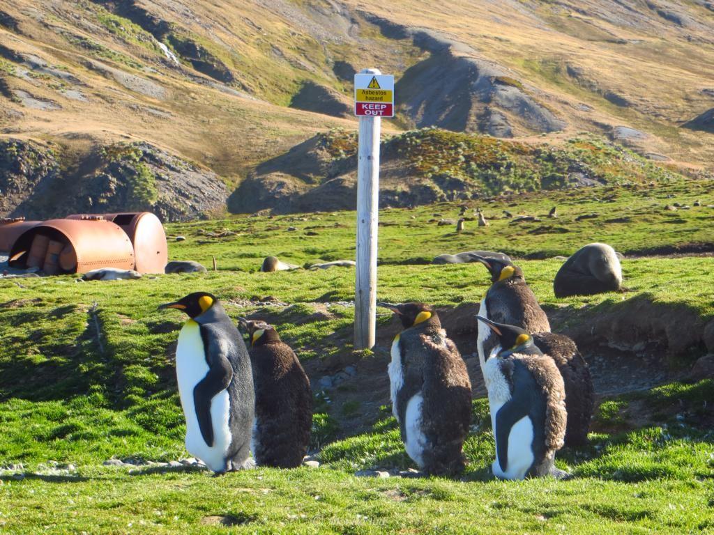 Königspinguine vor dem Warnhinweisen der alten Walfangstation: