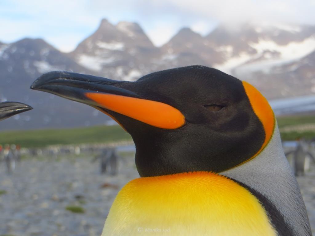 Süd-Georgien: leuchtende Pinguine vor eindrucksvollen Bergen