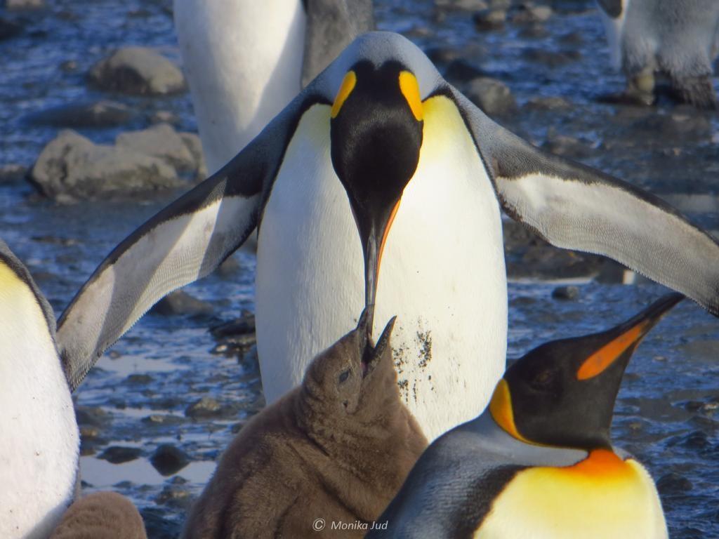 Königspinguin-Eltern bei der Fütterung auf einer Antarktis-Kreuzfahrt