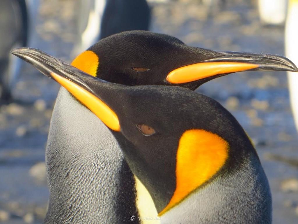 ein Königspinguin-Pärchen in den Salisbury Plains - traute Zweisamkeit
