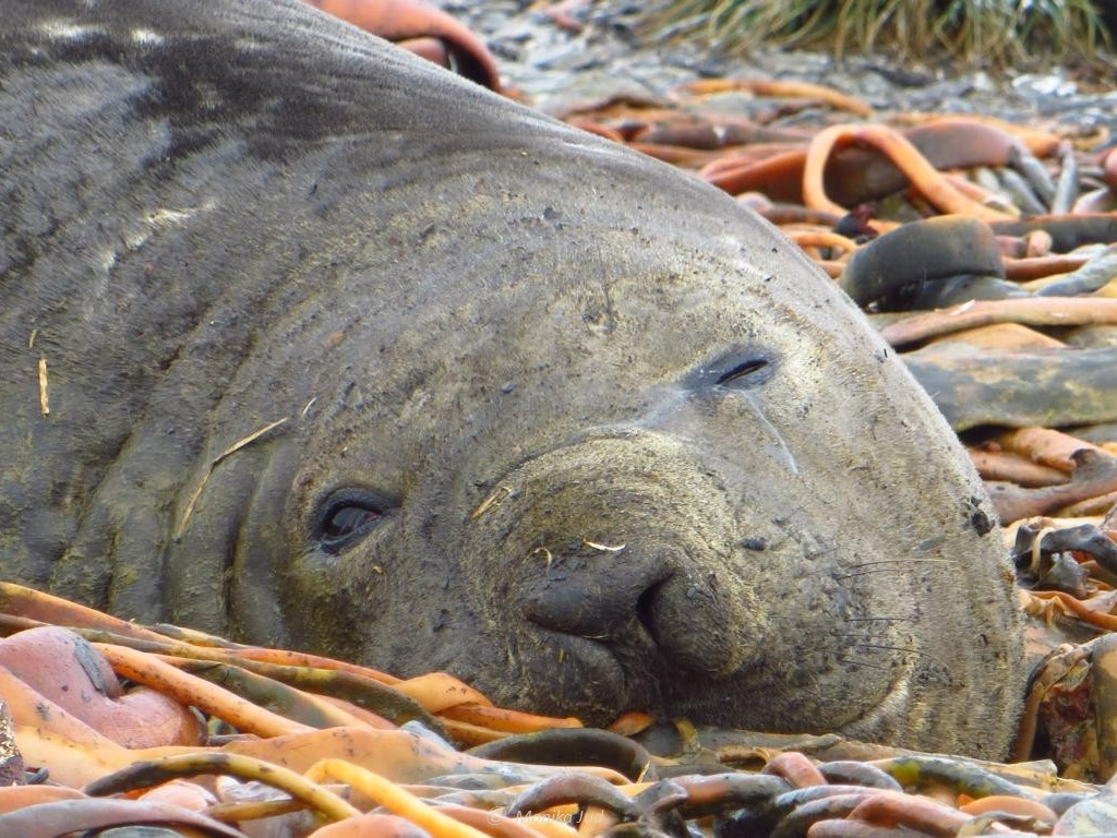 See-Elefanten auf Prion-Island - gelangweilt oder gemütlich?