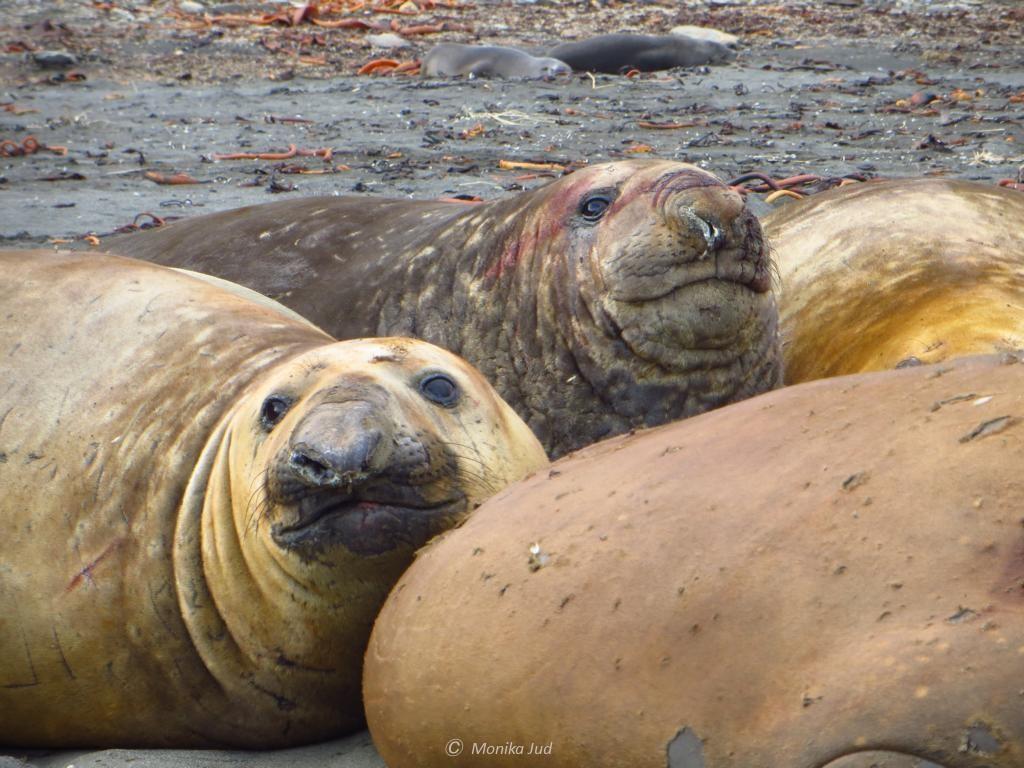 See-Elefanten Dreikampf: gähnen, brüllen, stinken