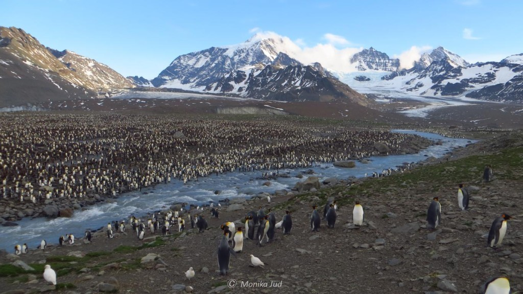 Panorama Südgeorgien mit Pinguinkolonie - brütende, behütende und wachsende Pinguine soweit das Auge reicht