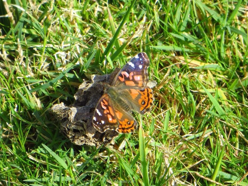 ob dieser Schmetterling hier immer lebt oder die Insel per Glück und Zufall gefunden hat?