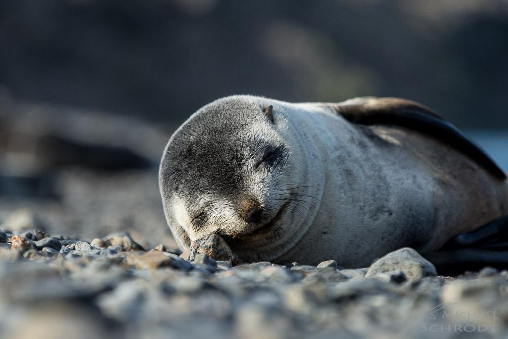 dreaming seal - Fotografie von Michael Schrodt